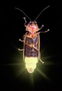 firefly2